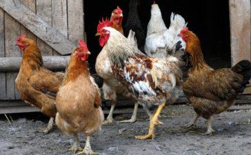 Coccidiosis en aves: ¿Cómo detectar esta enfermedad intestinal?