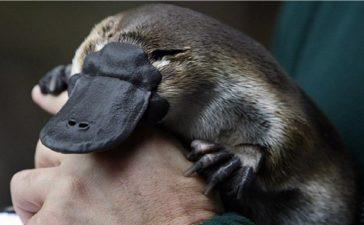 Ornitorrinco: Uno de los animales más fascinantes del mundo
