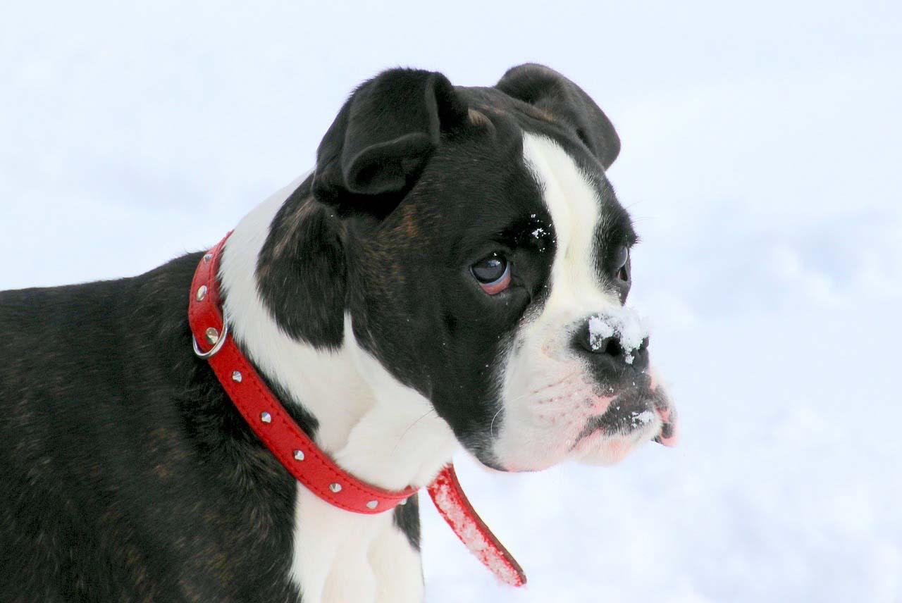 Los collares para perros: ¿Cómo encontrar las mejores opciones?
