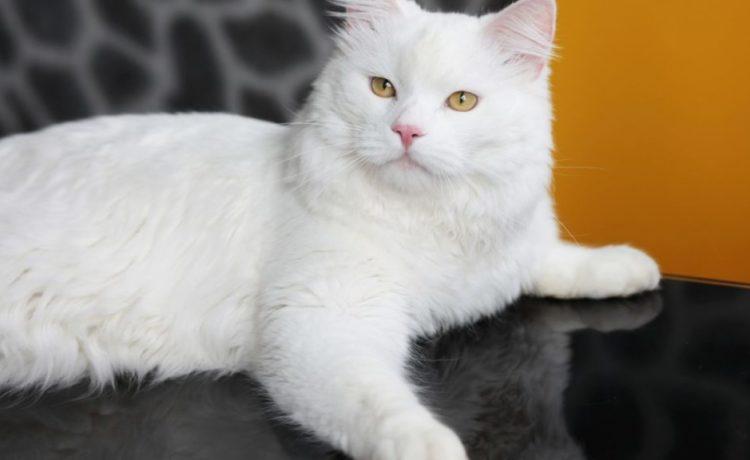 Gato de Angora Turco: Una raza sociable y cariñosa