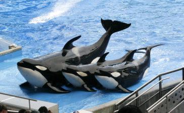 Orcas en cautividad: Descubre el lado oscuro