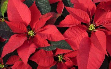 ¿Cuáles son los cuidados de la poinsettia navideña?