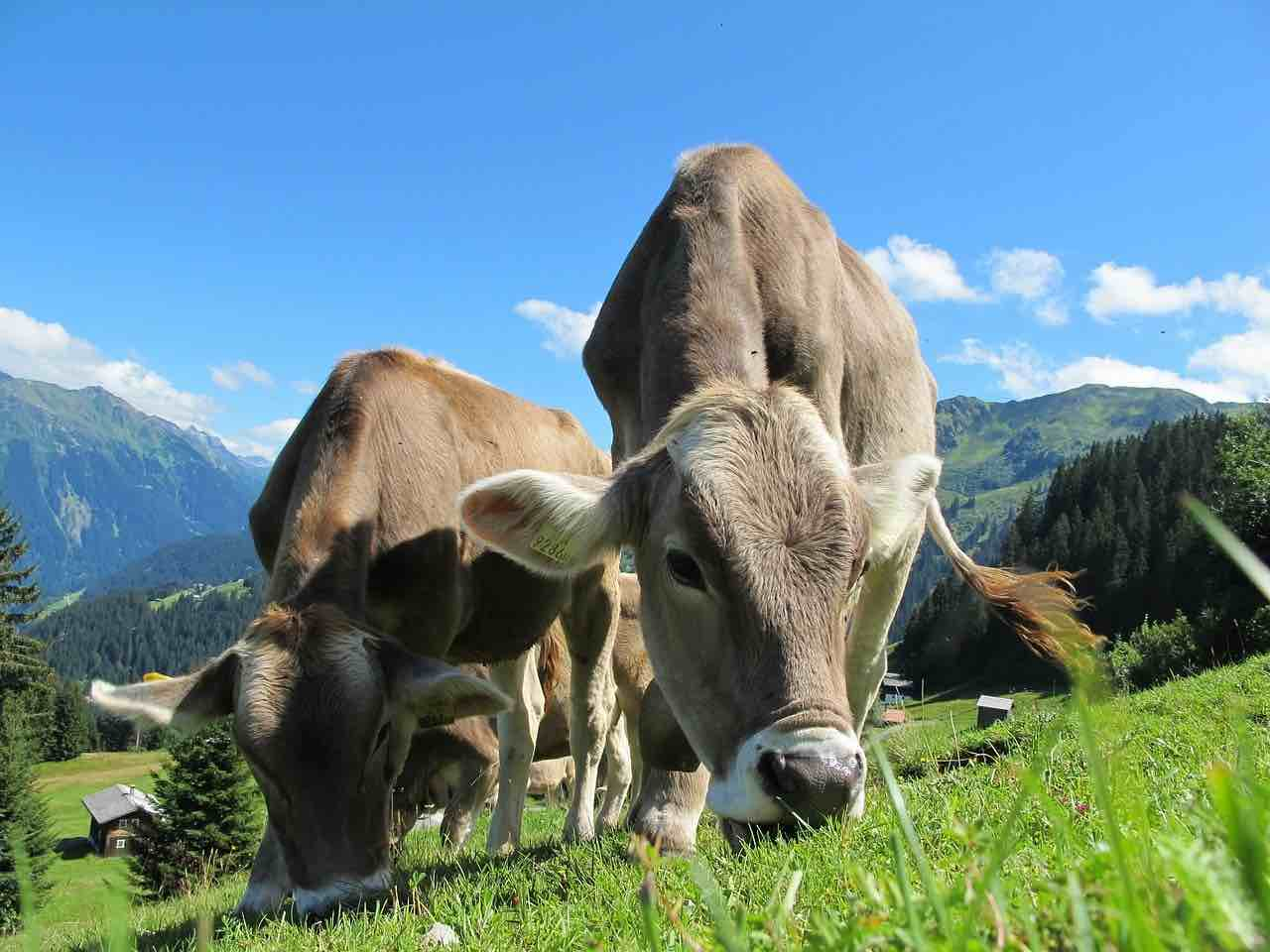 dar nombre a vacas