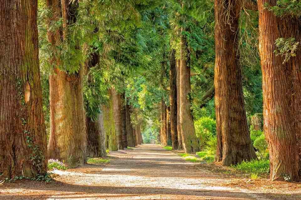 árboles siempre verdes